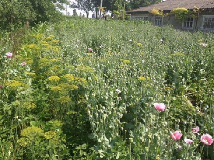Згороду звягельчанки поліція сполола майже 450 рослин снодійного маку