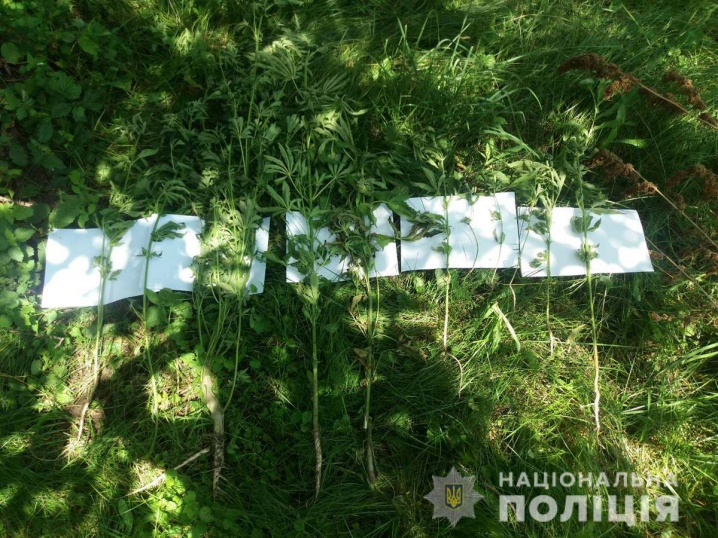 У Кельменецькому районі пенсіонерка вирощувала на городі коноплю