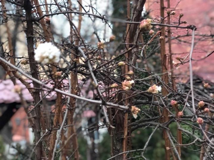 Аномально тепла зима: у Чернівцях зацвіла японська калина