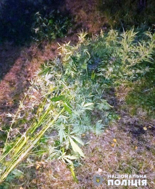 Чернівчанин на подвір'ї будинку вирощував коноплі