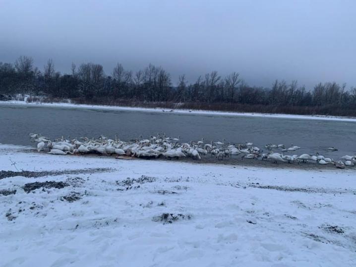 Вони дуже голодні: лебеді поблизу Чернівців потребують допомоги