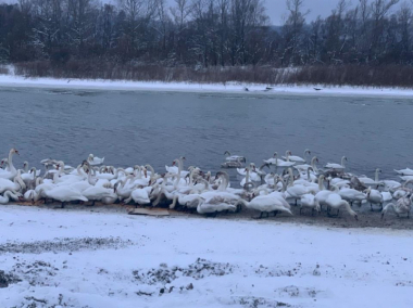 Не годуйте білих красенів хлібом, - жителі Мамаївців закликають охочих допомогти лебедям