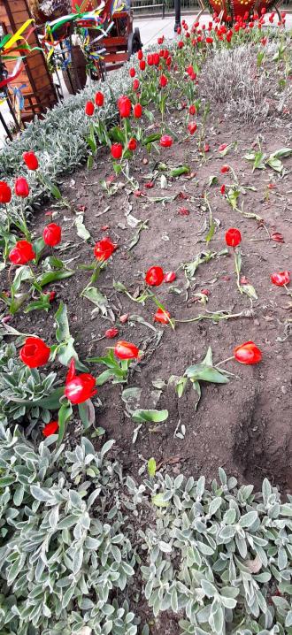 На Центральній площі у Чернівцях невідомі знищили десятки тюльпанів на одній із клумб